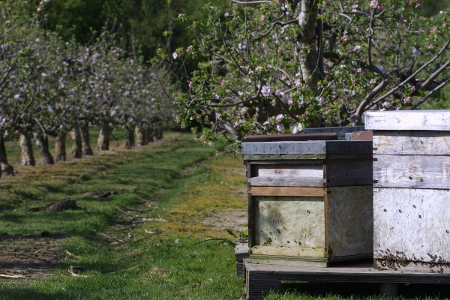 Bee Hives in Cherry Orchard.JPG